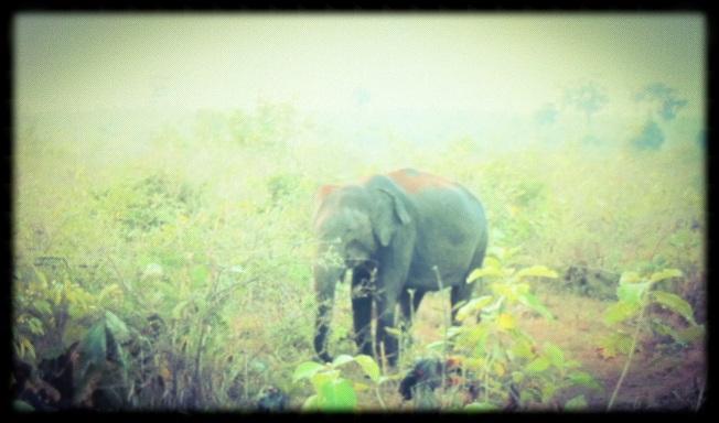 Elephant - Sri Lanka