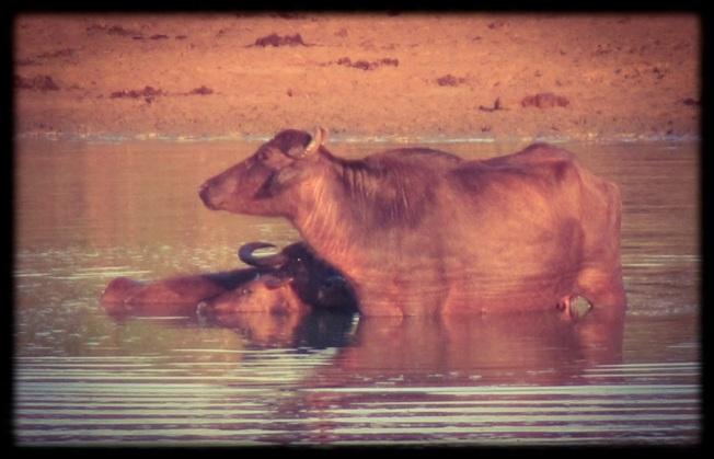 Buffalos - Uda Walawe - Sri Lanka