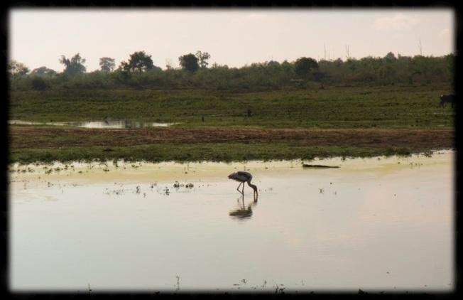 Pelican - Sri Lanka