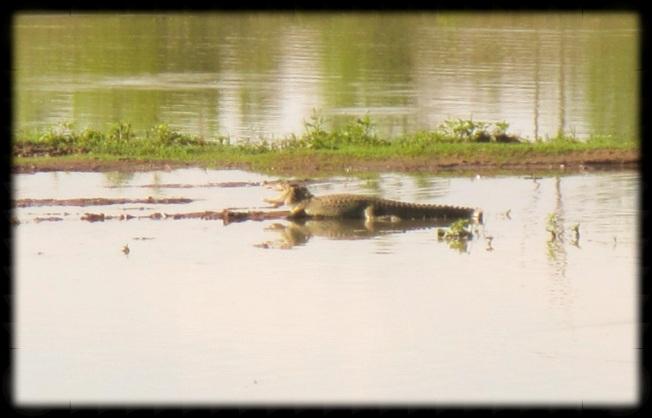 Croc - Sri Lanka