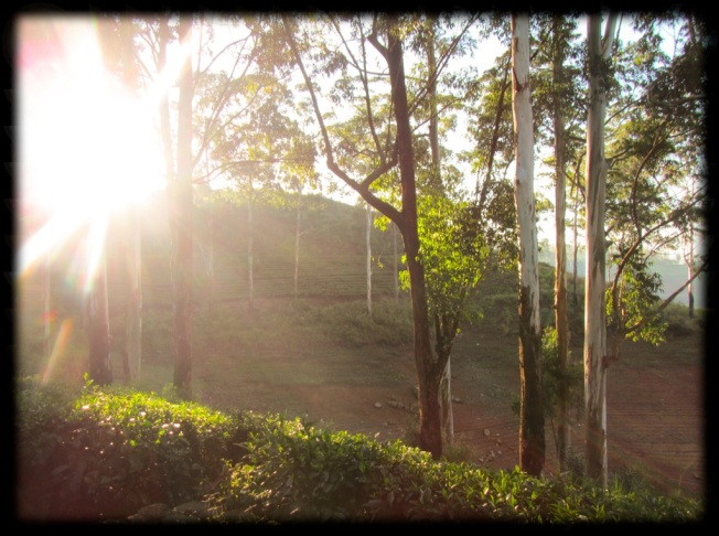 Tea Plantation Sunrise - Hatton - Sri Lanka