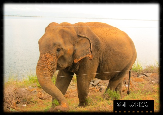 Crying Elephant - Sri Lanka