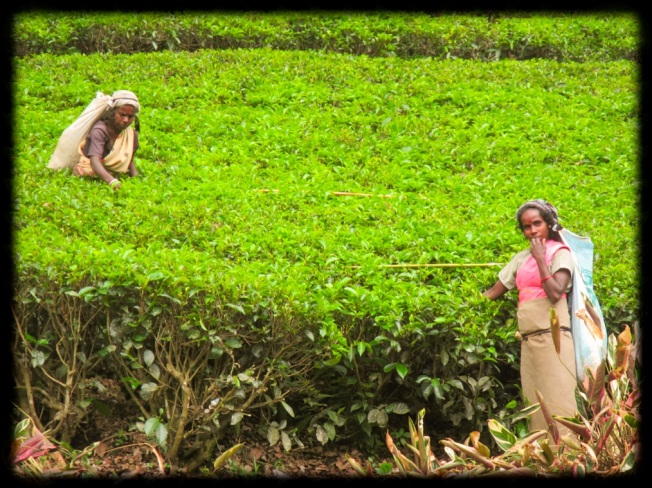 Collecting Tea SriLanka